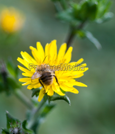 bumble bee head first on dandelion