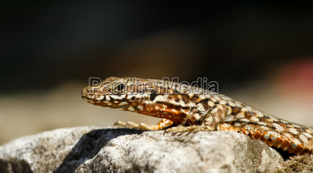 reptil lagarto escala italia luz soleado