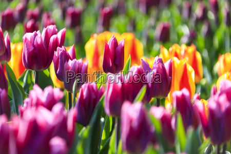 close up of multicolored tulips in