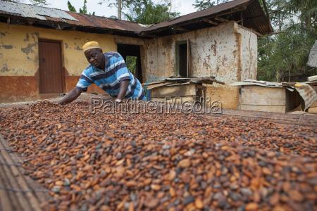 a cocoa farmer spreading cocoa beans