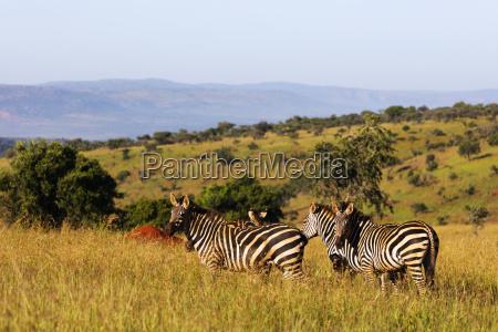burchells plains zebra equus quagga akagera