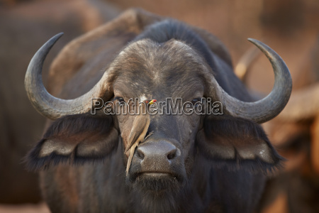 yellow billed oxpecker buphagus africanus on