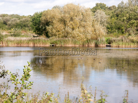 lake summer scene with ducks and