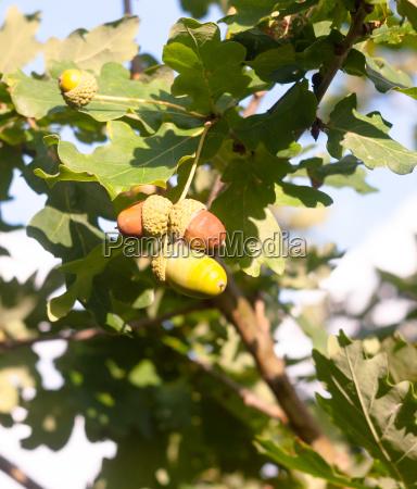 close up acorn hanging on tree