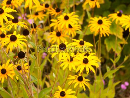 background of yellow garden rudbeckia goldsturm