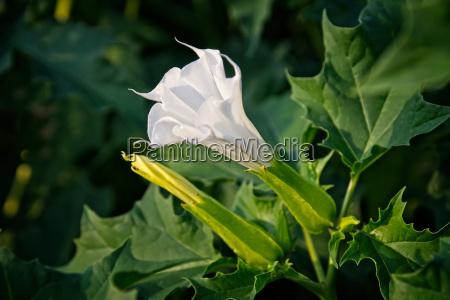 flor planta droga medicamento medicina col
