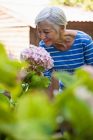 sonriente mujer mayor oliendo rosa hortensias