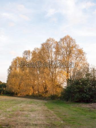 autumn row of high trees golden