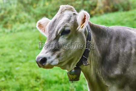 retrato de vaca