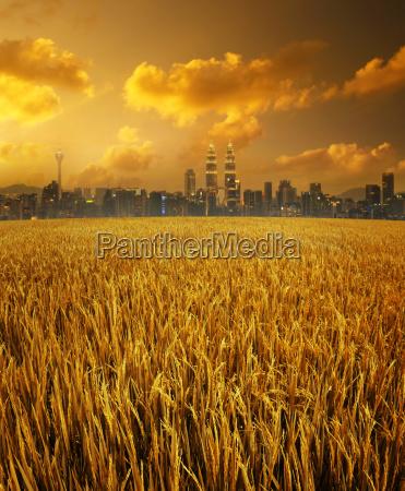 kuala lumpur city skyline and paddy