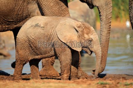 un lindo elefante africano bebe loxodonta