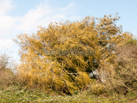 golden swaying autumn tree leaves on