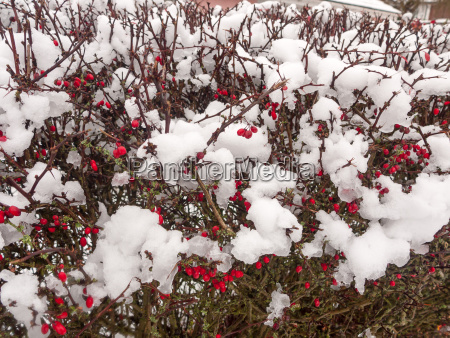 snow covered red berry bush background