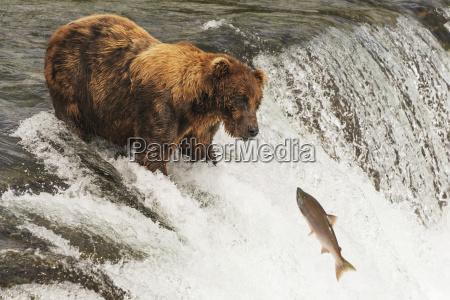 un oso pardo ursus arctic con