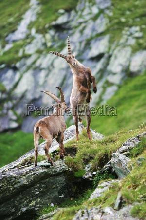 lucha contra capricornios capra ibex gross