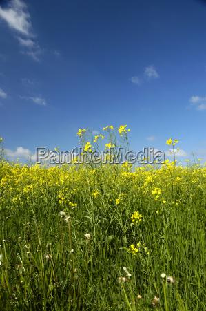 coleseed rape field agriculture farming cloud