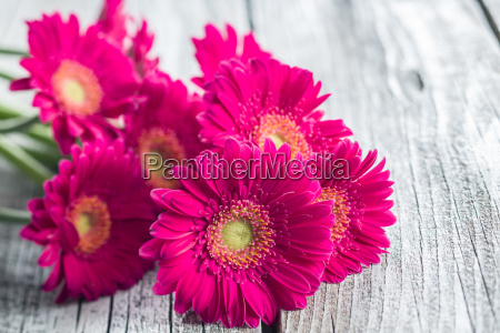flores de gerbera rosa