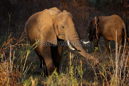 alimentacion de elefantes africanos