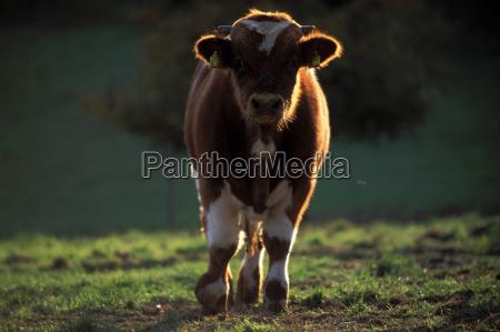 marron toro agricultura contra la luz