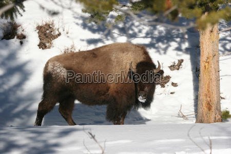 bison, im, winter - 23790442