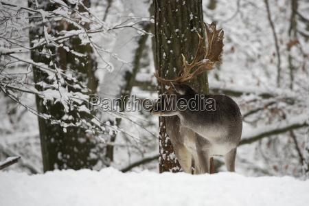 fallow deer in winter