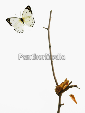 insecto mariposa estudio gracia rama perpendicular