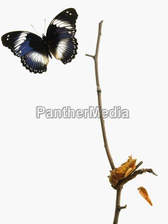azul insecto mariposa estudio gracia rama