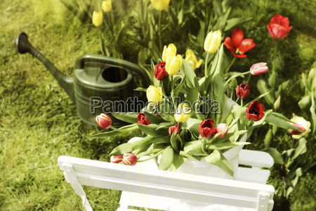 tulips on garden chair with pouring
