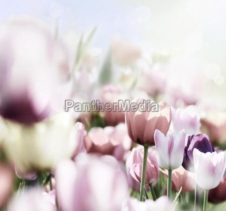 pink tulip blossom iin bright light