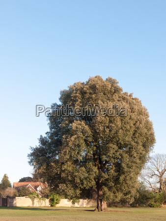 large green tree tall in field