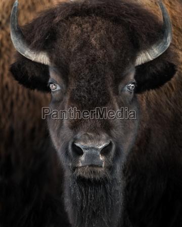 americano animal mamifero retrato bisonte cuerno