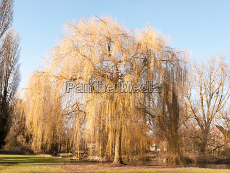 hanging willow tree park early spring