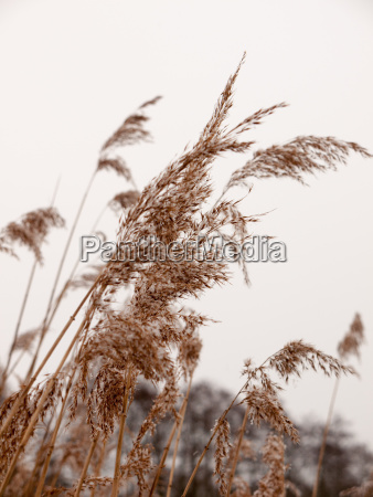 reeds outside with white sky snow