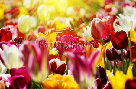 tulips yellow red light rays