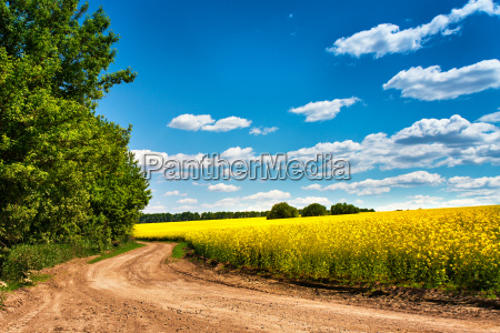 dirt road in colza flowering field