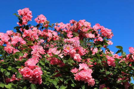 algunos detalle flor planta rosa las