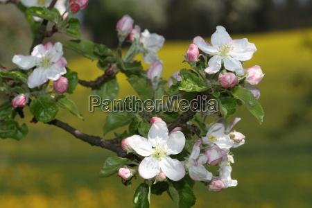 apple blossoms apple tree malus domestica