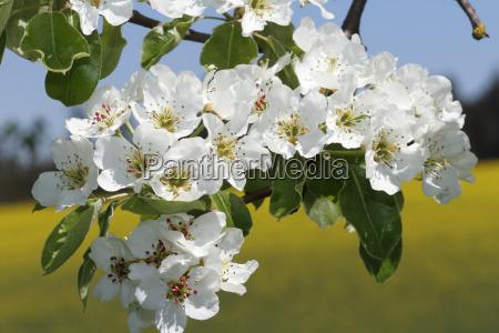 pear blossom pear tree pyrus communis