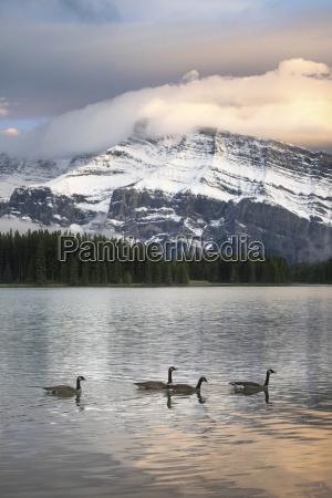 gansos de canada branta canadensis flotando