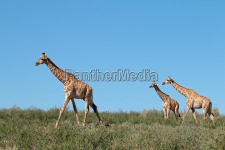 jirafas contra un cielo azul