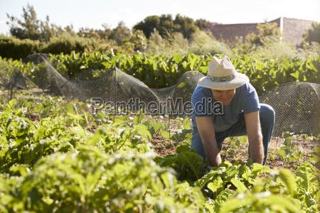 hombre maduro cosechando remolacha en la