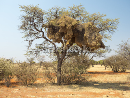 Africa namibia nido comunitario de aves