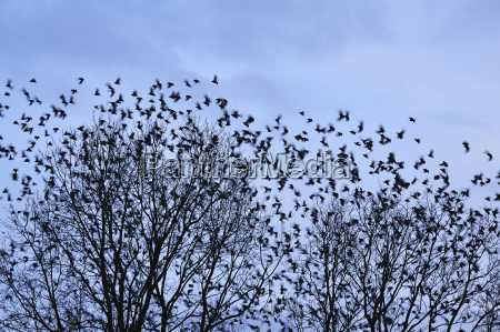 enjambre de estornino volador sturnus vulgaris