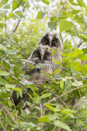 young long eared owls asio otus