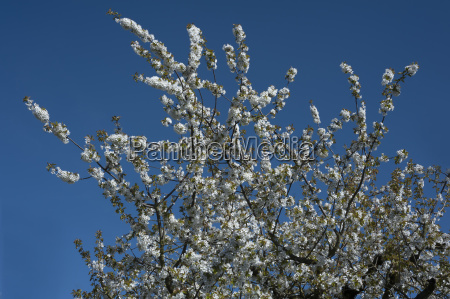 flowering branches of a sweet cherry