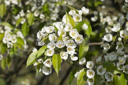 flowering pear tree culture pear pyrus