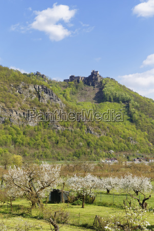castle ruins aggstein flowering fruit trees