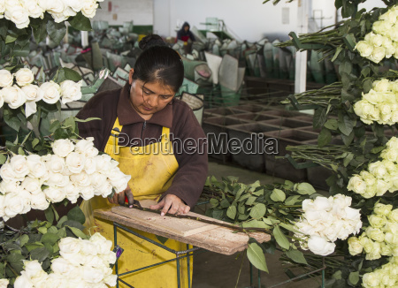 flor rosa planta botanica america latina
