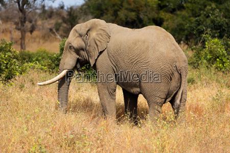 elefante africano del toro