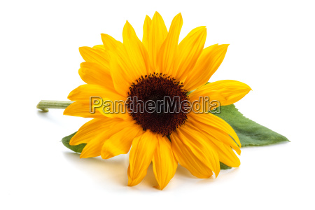 sunflower with leaves
